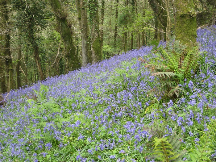 Bluebell carpet in Beckland Wood nr Brownsham North Devon