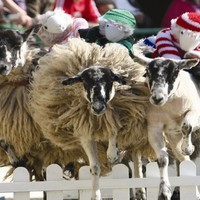 Half Price Family Fun Day at The Big Sheep