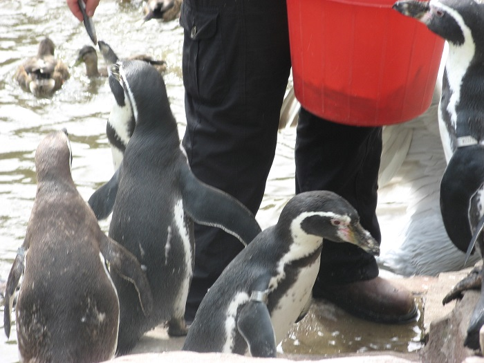 Penguin Feeding Time at Exmoor Zoo