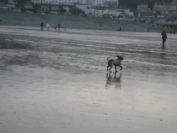 Winter Dog Walking at Westward Ho North Devon